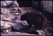 "view American Black Bear ""Smokey Bear"" at National Zoological Park digital asset number 1"