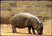 view Pygmy Hippopotamus at National Zoological Park digital asset number 1