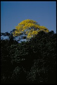 view Flowering Trees, Panama, STRI digital asset number 1