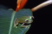 view Glass Frog at Smithsonian Tropical Research Institute (STRI), Barro Colorado Island, Panama digital asset number 1