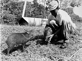 view STRI Staff with Peccaries digital asset number 1