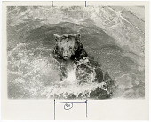 view Smokey Bear Frolics in a Pool at National Zoological Park digital asset number 1