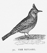 view Engraving of a Skylark digital asset number 1