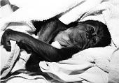 view NZP's Baby Orangutan digital asset number 1