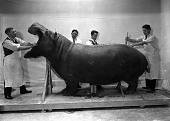view Taxidermists Mounting Hippopotamus digital asset number 1