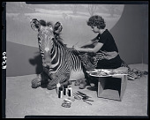view Taxidermist Sybil Costanzo Works on Zebra Model at Museum of Natural History digital asset number 1