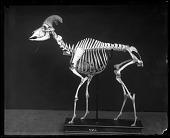 view Mounted Skeleton of a Bighorn Sheep digital asset number 1