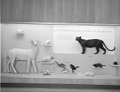 view Albinism and Melanism in Mammals Exhibit, Hall of Mammals digital asset number 1