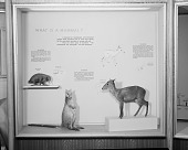 view What Is a Mammal? Exhibit, Hall of Mammals, National Museum of Natural History digital asset number 1