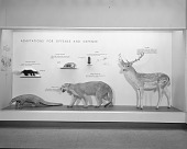 view Adaptations for Offense and Defense Exhibit, Hall of Mammals digital asset number 1
