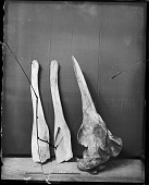view Baird's Beaked Whale Skull Parts digital asset number 1