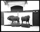 view Musk Ox Models Mounted for Exhibit digital asset number 1