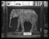 """view Mount of African Elephant """"Mungo"""" digital asset number 1"""