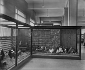 view Domestic Fowl Exhibit, Bird Hall, Museum of Natural History digital asset number 1