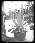 view Potted Agave in USNM Rotunda digital asset number 1