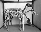 view Paleontology Exhibit, Hagerman Horses digital asset number 1