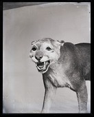 view Taxidermy Mount of Cougar digital asset number 1