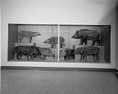 view Wild Pigs of the World, Hall of Mammals, National Museum of Natural History digital asset number 1