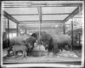 view American Buffaloes Exhibit digital asset number 1