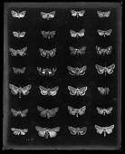 view Moth Specimens digital asset number 1
