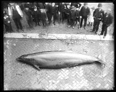 view Gervais' Beaked Whale Specimen with Onlookers Gathered Around digital asset number 1