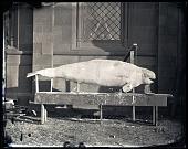 view Plaster Cast of Beluga Whale digital asset number 1