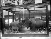 view Bison Exhibit in the U.S. National Museum digital asset number 1