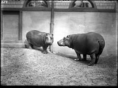 view Nile Hippopotamuses, Male and Female digital asset number 1