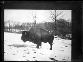 view American Bison digital asset number 1