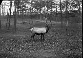 view American Elk digital asset number 1