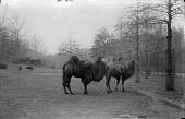 view Bactrian Camels digital asset number 1