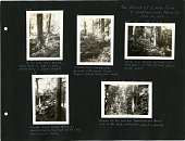 view Album page - Five photographs: 1) In the Tulip Tree Grove, Near Tree is 15 ft. in Circumference, Understory is Sugar Maple; 2) A Luxuriant Herbaceous Growth with Many Ferns, Figure Beside Tree gives Scale; 3) Tulip and Beech Prevail in this Part of the... digital asset: Album page - Five photographs: 1) In the Tulip Tree Grove, Near Tree is 15 ft. in Circumference, Understory is Sugar Maple; 2) A Luxuriant Herbaceous Growth with Many Ferns, Figure Beside Tree gives Scale; 3) Tulip and Beech Prevail in this Part of the Forest, Figure Gives Scale; 4) Three Large Tulip Tress on Ravine Slope, Nearest, 14 ft. Circumference, Figure Gives Scale; 5) Lower in the Ravine, Hemlock and Birch Mix with Tulip, White Oak, Beech and Maple, June 14, 1993. [Image no. SIA2007-0059]