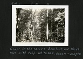 view Lower in the Ravine, Hemlock and Birch Mix with Tulip, White Oak, Beech and Maple (Forest of Lynn Fork, Leatherwood, Perry County, Kentucky), June 14, 1933. (Braun image no. 4-8) [Image no. SIA2007-0063] digital asset: Lower in the Ravine, Hemlock and Birch Mix with Tulip, White Oak, Beech and Maple (Forest of Lynn Fork, Leatherwood, Perry County, Kentucky), June 14, 1933. (Braun image no. 4-8) [Image no. SIA2007-0063]