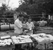 view W. M. Perrygo and Marcial Dutari working with bird specimens, 1953 digital asset number 1