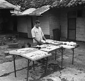 view W. M. Perrygo working with drying bird skins, 1953 digital asset number 1