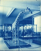 view Exhibit of Giraffe from Smithsonian-Roosevelt African Expedition digital asset number 1