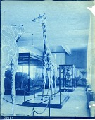 view Exhibit of Giraffes from Smithsonian-Roosevelt African Expedition digital asset number 1
