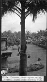 view Royal Palm Showing Buds digital asset number 1