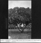 view Plumeria Tree, Washington Hotel Grounds digital asset number 1