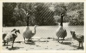 view Views of the National Zoological Park in Washington, DC, showing Geese and Ducks digital asset number 1