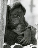 view NZP's Orangutans, Bonnie and Baby Kiko digital asset number 1