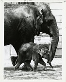 view Mother Elephant Shanthi and her Baby Kumari digital asset number 1