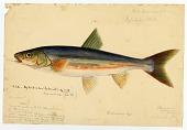 view Watercolor of Cyrprinoid by Joseph Drayton digital asset number 1