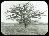 view Mexico, c. 1890s-1900s - Gourd tree near La Salada, Michoacan, March 1903 digital asset: Mexico, c. 1890s-1900s - Gourd tree near La Salada, Michoacan, March 1903 [Image no. SIA2011-1914]