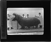 view Taxidermists Adjusting Hippopotamus Skin on Model Preparatory to making Clay Model digital asset number 1