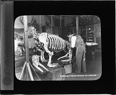 view Assembling a Walrus Skeleton for Exhibition digital asset number 1