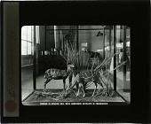 view Corner in African Hall with Harnessed Antelope in Foreground digital asset number 1