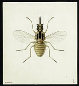 view Egyptian Bombyliids Collection, Watercolors digital asset: #1 Leylayia mimnermia, Effl., 1945 [Image no. SIA2012-7381]