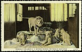 view Blank Postcard of Roosevelt Lion Group digital asset number 1