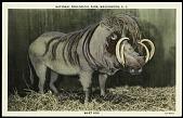 view Postcard of a Wart Hog digital asset number 1